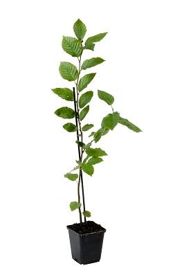 Carpinus betulus (2)