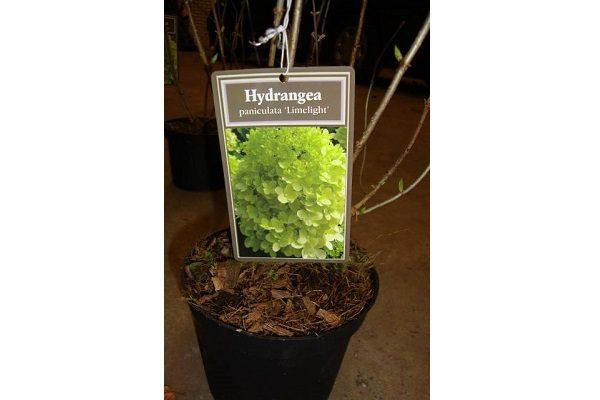 Hortensia limelight (2)