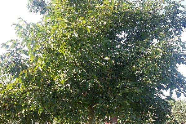 Notenboom