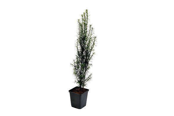 Taxus in pot