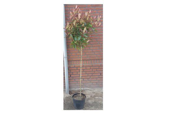 Photinia op stam (glansmispel)