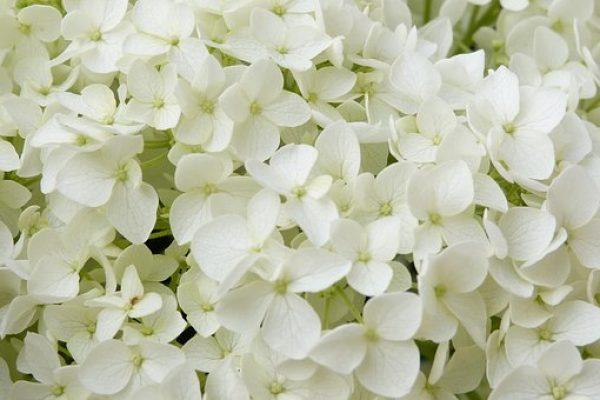hortensia annabelle1