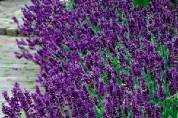 lavendel_hidcote_blue